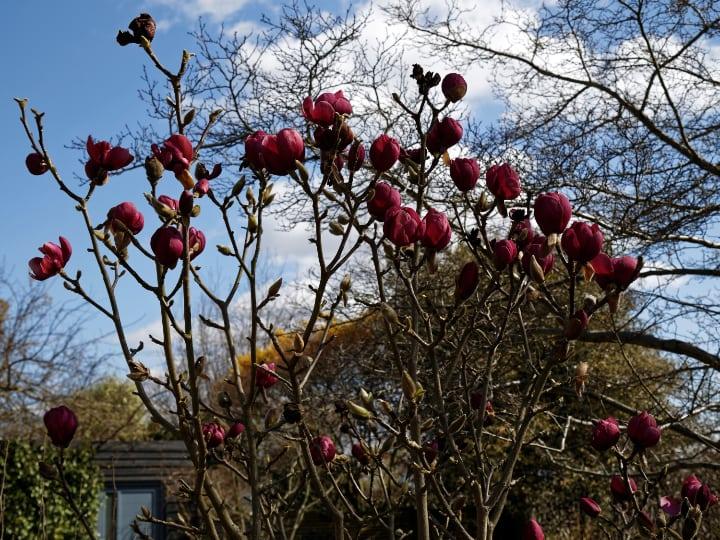 black tulip magnolia tree