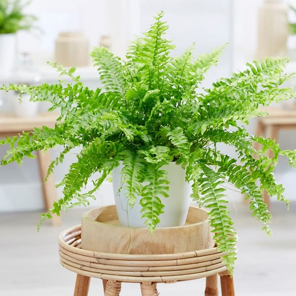 boston fern house plant