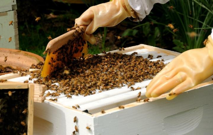 brushing bees aside to harvest honey