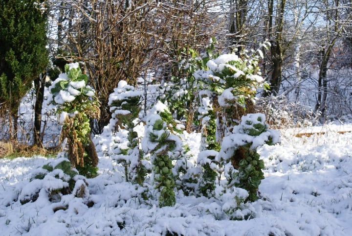 brussel sprout plants covered in snow