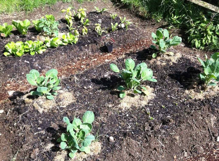 brussel sprout plants on a raised garden bed