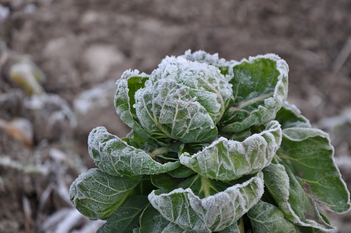 brussel sprouts in winter