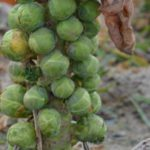 brussels sprouts plant on soil