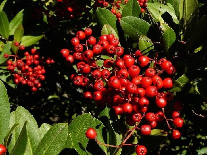 california holly shade loving shrubs