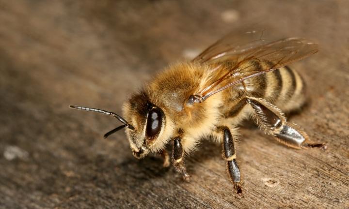carniolan grey honey bee apis mellifera carnica