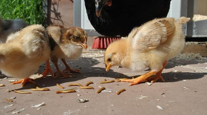 chickens eating mealworms
