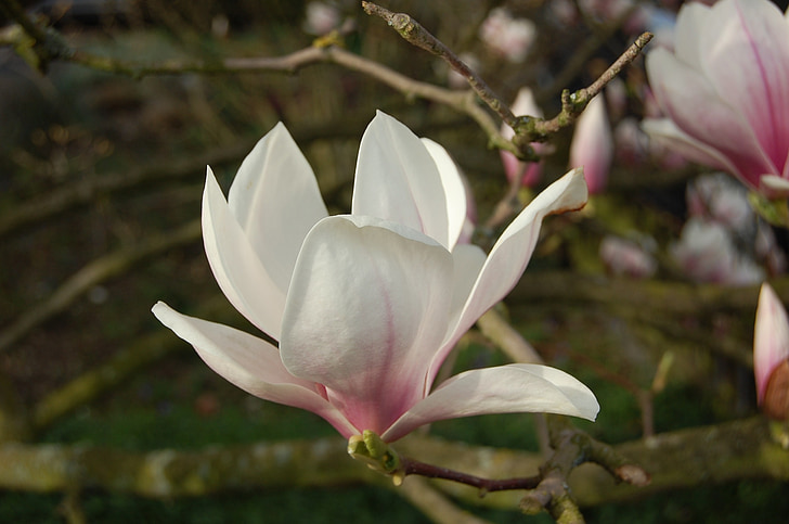 chinese magnolia tree