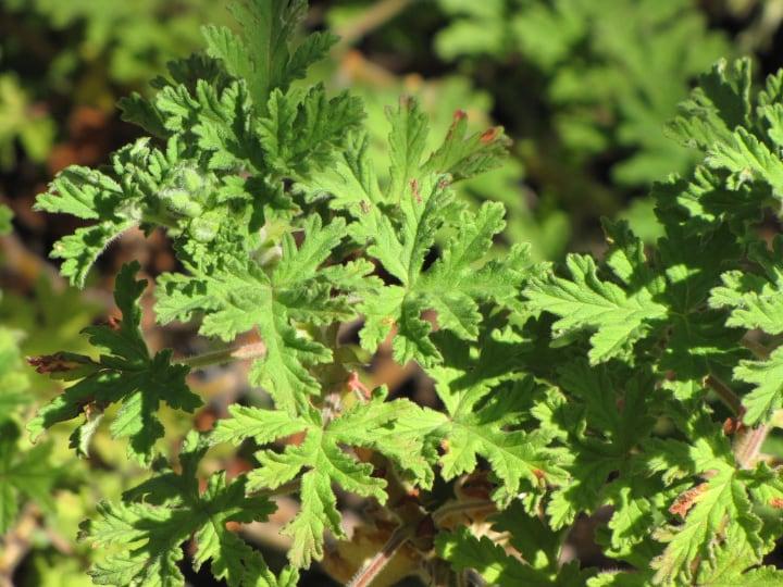 citonella plant in full sunshine
