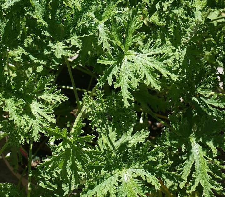 citronella plant in direct sunlight
