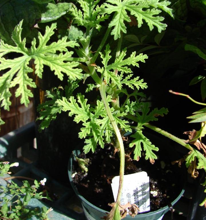 citronella plant n the patio