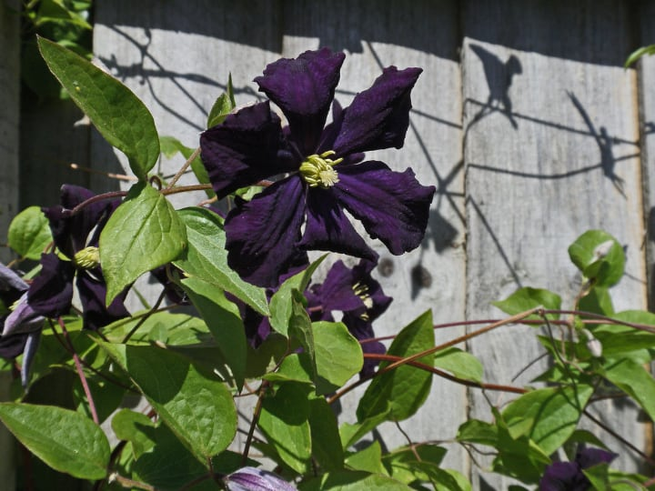 clematis climbing shade plant