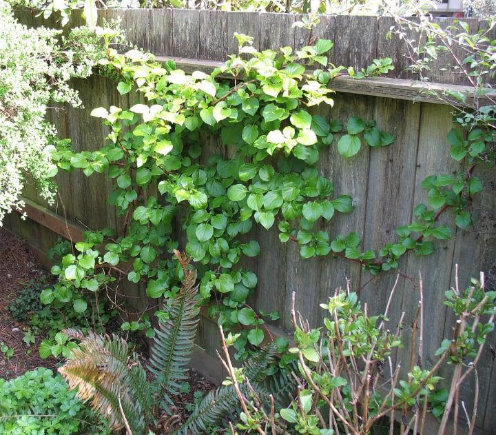 climbing shade plant hydrangea anomala petiolaris