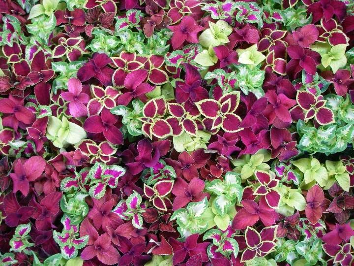 coleus indoor shade plants