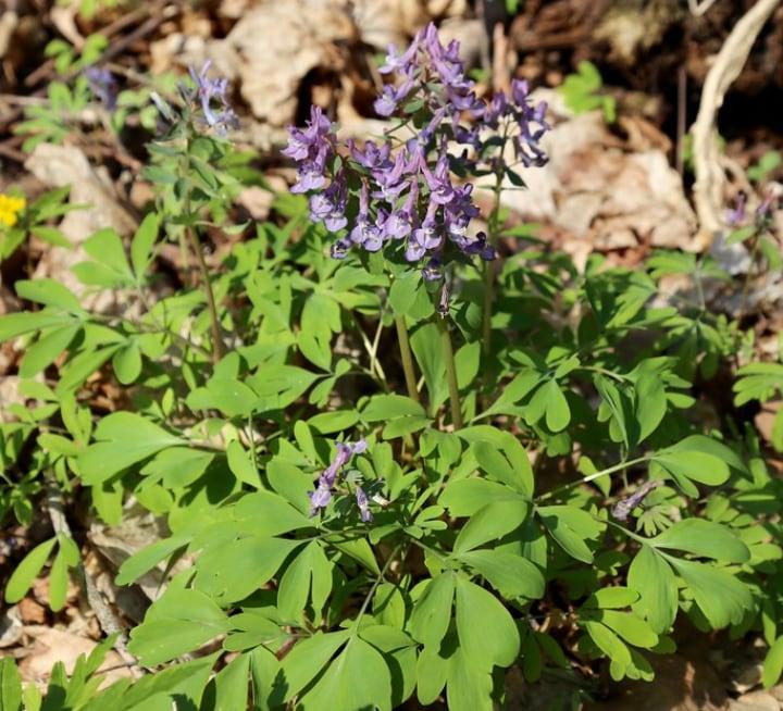 corydalis shade perennial plant
