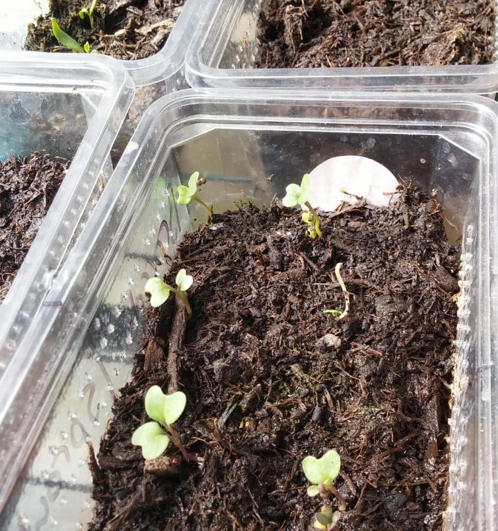 covered broccoli microgreen seeds