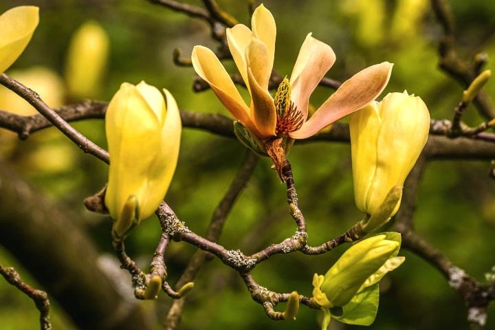 cucumber magnolia tree flower