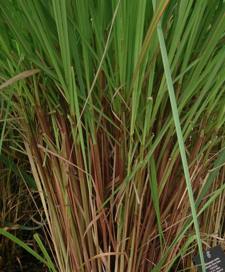 cymbopogon nardus or citronella grass
