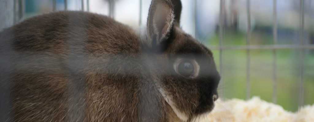 dark brown rabbit in a cage