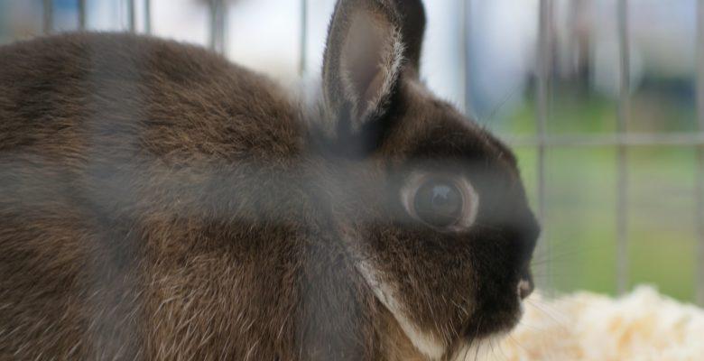 dark brown rabbit in a cage