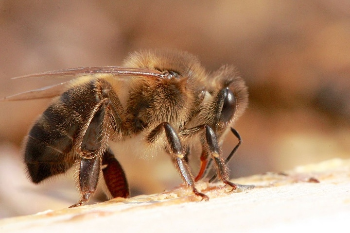 dark german honey bee apis mellifera mellifera
