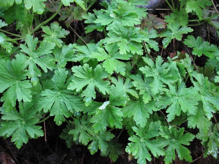 deadheading geranium plant