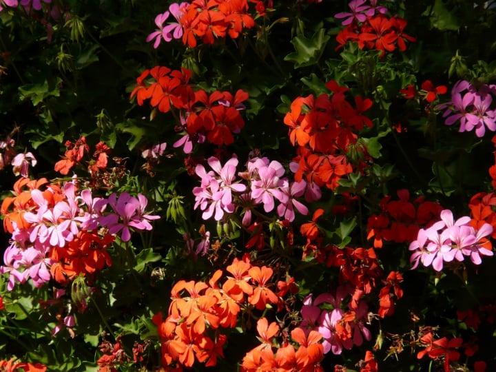 different types of geranium