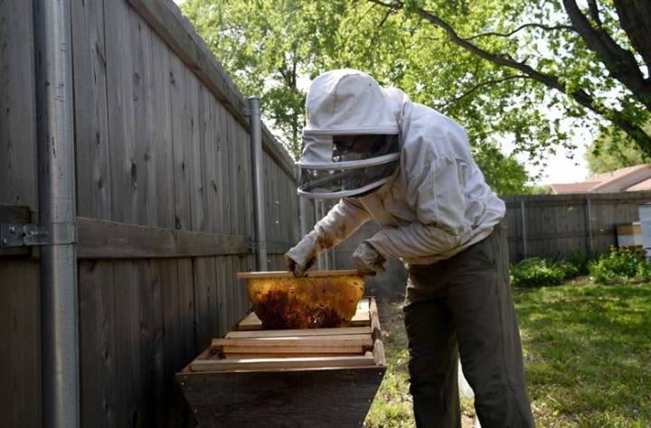 dividing bee colonies