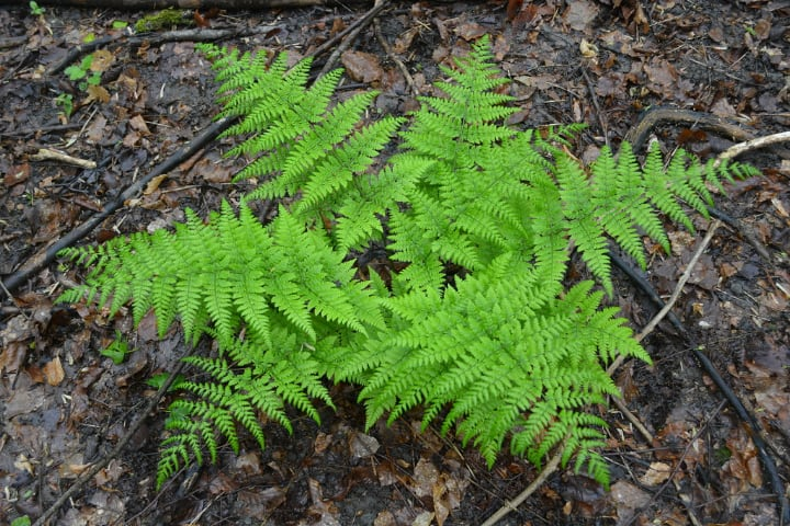 dryopteris dilatata dry shade plants