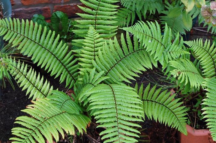 dryopteris wallichiana full shade plant