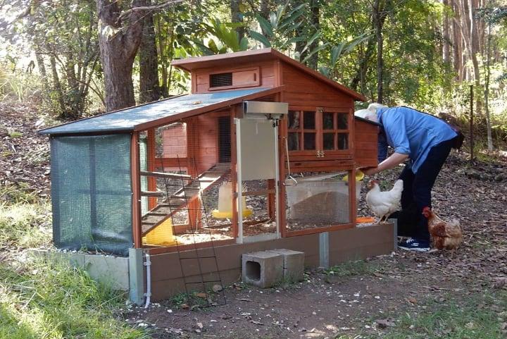 feeding chickens on the chicken coop