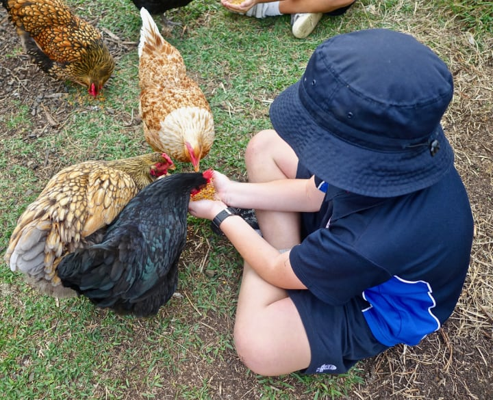 feeding chickens to provide the vitamins they need