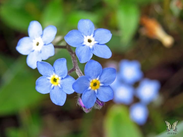 forget me not indoor shade plant
