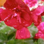 freshly watered geranium