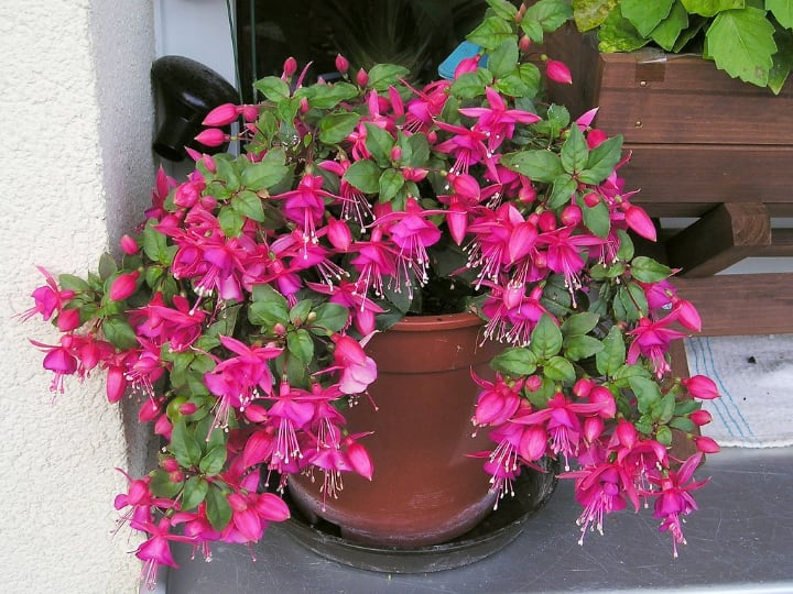 fuschia indoor potted shade plant
