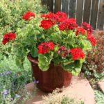 geranium life span