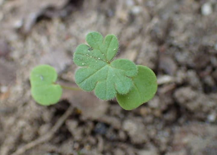 geranium seedling