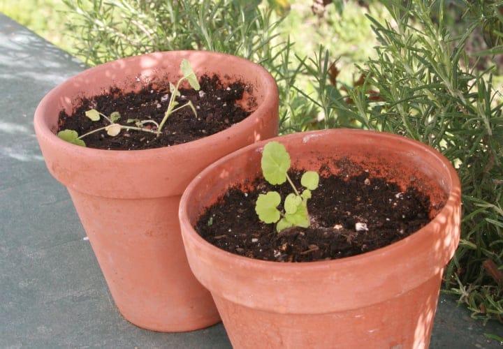 geranium seedlings in a bigger pot