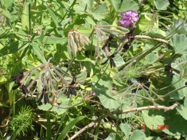 geranium with withered flower heads