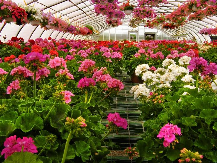 geraniums grown in greenhouses