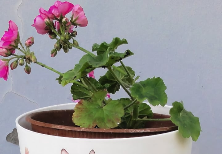 geraniums in shaded area