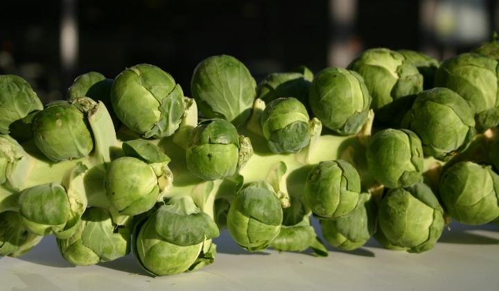 gladius brussel sprout bushels
