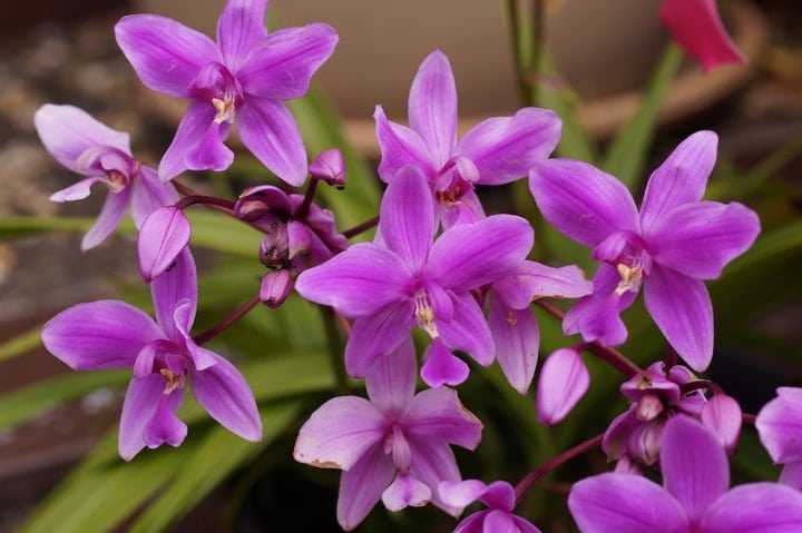 ground orchid shade perennial