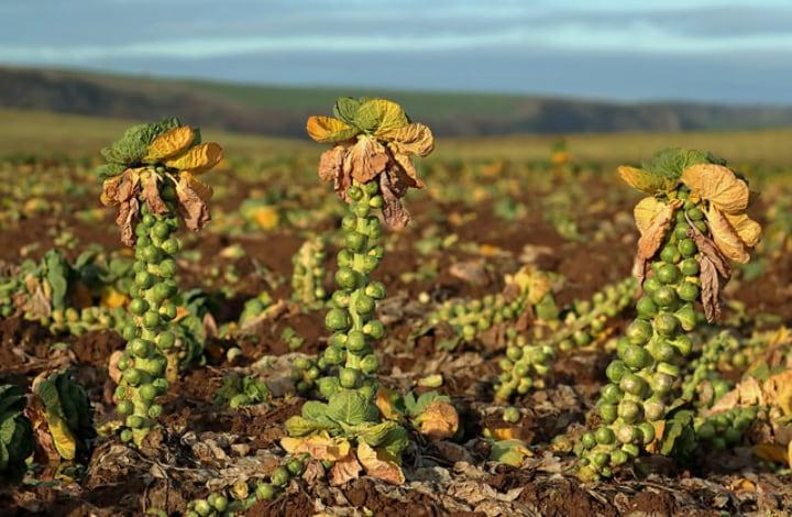 growing brussel sprout plants in a fertilized field