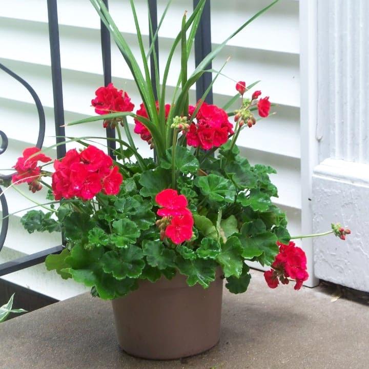 growing geranium in a pot