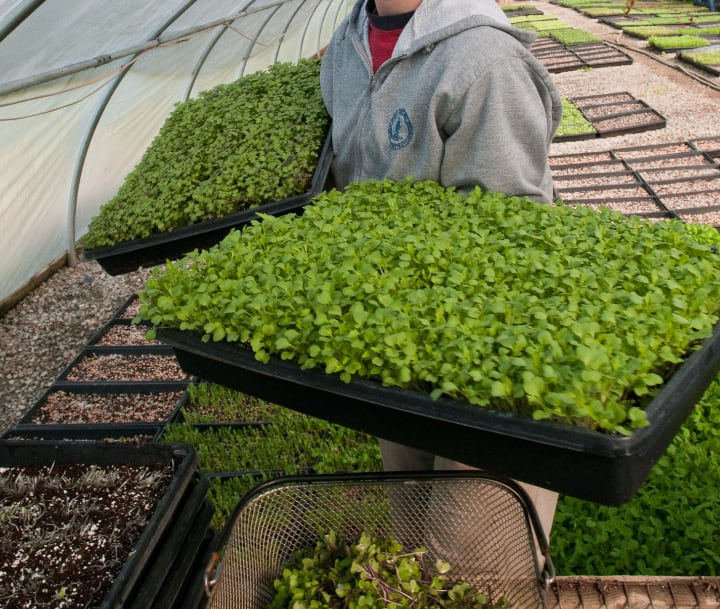 growing microgreens is labor intensive