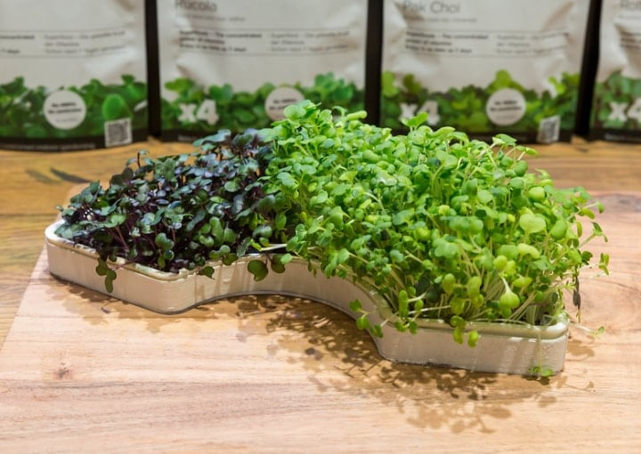 growing microgreens on your own