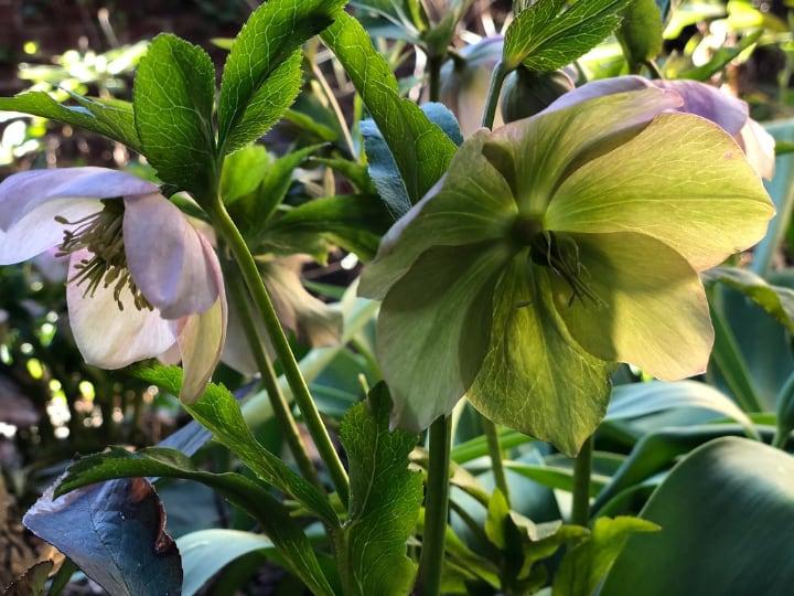 hellebore shade perennial plant