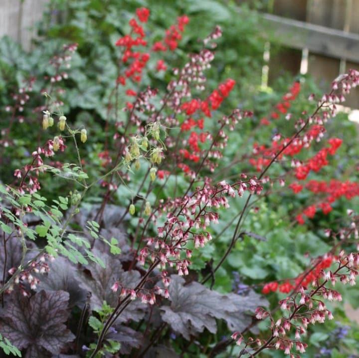 heuchera deep shade plant