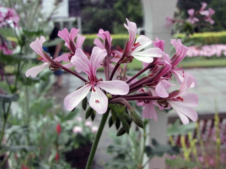 horseshoe geranium