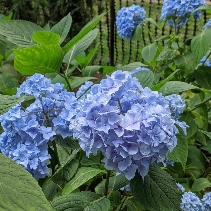 hydrangea flowering shade plant